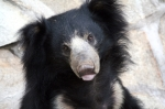 Visit the Agra Bear Rescue Facility (ABRF), India